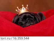 Купить «pug puppy», фото № 16359544, снято 21 апреля 2018 г. (c) age Fotostock / Фотобанк Лори