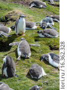 Купить «Gentoo Penguin (Pygoscelis papua) on the Falkland Islands, half grown chicks forming a creche, the heat at noon exhausts the chicks. South America, Falkland Islands, January.», фото № 16362328, снято 16 января 2015 г. (c) age Fotostock / Фотобанк Лори