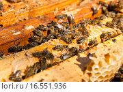 Купить «Busy bees, close up view of the working bees on honeycomb.», фото № 16551936, снято 25 июня 2019 г. (c) PantherMedia / Фотобанк Лори