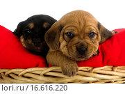 Купить «Puppies», фото № 16616220, снято 24 января 2019 г. (c) easy Fotostock / Фотобанк Лори