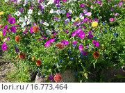 Купить «Яркая клумба из однолетних цветов», фото № 16773464, снято 25 августа 2015 г. (c) Елена Коромыслова / Фотобанк Лори