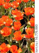 Купить «Keukenhof gardens Lisse, Holland», фото № 16776880, снято 23 апреля 2005 г. (c) easy Fotostock / Фотобанк Лори