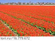 Купить «Lisse Holland», фото № 16779672, снято 22 апреля 2005 г. (c) easy Fotostock / Фотобанк Лори