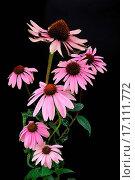 Купить «Purple Coneflower», фото № 17111772, снято 9 июля 2020 г. (c) easy Fotostock / Фотобанк Лори