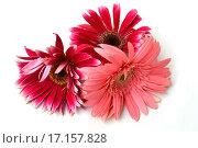 Красные герберы на белом фоне. Стоковое фото, фотограф Оксана Якупова / Фотобанк Лори