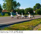 Купить «Gooses crossing a road», фото № 17275632, снято 25 марта 2019 г. (c) easy Fotostock / Фотобанк Лори
