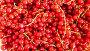 Seamless circular motion: red currant, видеоролик № 17323468, снято 17 декабря 2015 г. (c) BestPhotoStudio / Фотобанк Лори