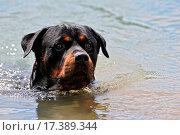 swimming rottweiler. Стоковое фото, фотограф bonzami / easy Fotostock / Фотобанк Лори