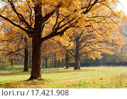 Купить «Old oaks in fall season», фото № 17421908, снято 3 апреля 2020 г. (c) easy Fotostock / Фотобанк Лори