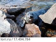 Купить «Seal Pagophilus groenlandicus», фото № 17494784, снято 16 апреля 2019 г. (c) easy Fotostock / Фотобанк Лори