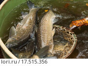 Купить «Autumn harvest of carps from fishpond to christmas markets in Czech republic. In Central Europe fish is a traditional part of a Christmas Eve dinner.», фото № 17515356, снято 20 апреля 2019 г. (c) PantherMedia / Фотобанк Лори