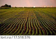 Купить «Neat rows of new growing grain crop», фото № 17518576, снято 4 июля 2020 г. (c) easy Fotostock / Фотобанк Лори
