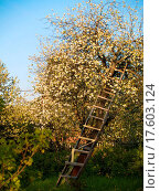 Купить «Ladder near blooming apple_tree», фото № 17603124, снято 25 марта 2019 г. (c) easy Fotostock / Фотобанк Лори