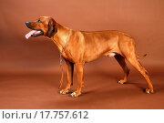 Купить «rhodesian ridgeback dog studio shot», фото № 17757612, снято 18 февраля 2010 г. (c) easy Fotostock / Фотобанк Лори