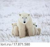 Купить «Polar she_bear with cubs.», фото № 17871580, снято 14 октября 2019 г. (c) easy Fotostock / Фотобанк Лори