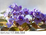 Купить «Saintpaulia _ african violet», фото № 17886564, снято 9 июля 2020 г. (c) easy Fotostock / Фотобанк Лори