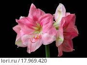 Купить «Amaryllis 07», фото № 17969420, снято 5 июня 2020 г. (c) easy Fotostock / Фотобанк Лори