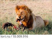 Купить «Supper of a lion. 2», фото № 18009916, снято 18 февраля 2018 г. (c) easy Fotostock / Фотобанк Лори