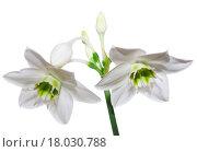 Купить «Amaryllis», фото № 18030788, снято 31 мая 2020 г. (c) easy Fotostock / Фотобанк Лори