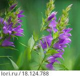 Купить «Фиолетовые колокольчики в саду», фото № 18124788, снято 21 июня 2015 г. (c) Natalya Sidorova / Фотобанк Лори