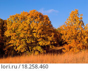 Купить «Autumn ´White Oaks´ Quercus alba and prairie grasses, Waubonsie State Park, Iowa, USA», фото № 18258460, снято 3 апреля 2020 г. (c) easy Fotostock / Фотобанк Лори