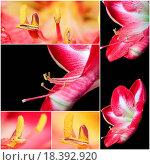 Купить «Collage of Extreme close up view of a amaryllis», фото № 18392920, снято 5 июня 2020 г. (c) easy Fotostock / Фотобанк Лори