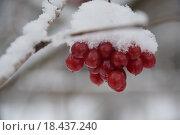 Калина красная под снегом. Стоковое фото, фотограф Алексей Наумов / Фотобанк Лори