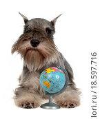 Купить «Zwergschnauzer with globe», фото № 18597716, снято 21 февраля 2019 г. (c) easy Fotostock / Фотобанк Лори
