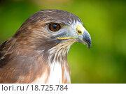 Купить «Hawks head», фото № 18725784, снято 14 октября 2019 г. (c) easy Fotostock / Фотобанк Лори