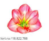 Купить «Pink amaryllis», фото № 18822788, снято 31 мая 2020 г. (c) easy Fotostock / Фотобанк Лори