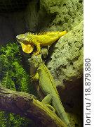 Купить «Игуана в террариуме московского зоопарка», фото № 18879880, снято 6 мая 2015 г. (c) Елена Коромыслова / Фотобанк Лори