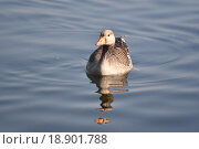 Серый гусь фас с отражением в воде. Стоковое фото, фотограф Юлия Бубличенко / Фотобанк Лори