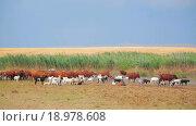 Купить «Стадо коз и коров», видеоролик № 18978608, снято 18 августа 2014 г. (c) Владимир Кравченко / Фотобанк Лори