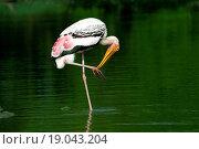 Купить «Painted stork caring leg Ranganathitto Mysore India Asia», фото № 19043204, снято 13 ноября 2019 г. (c) easy Fotostock / Фотобанк Лори