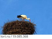 Купить «Storch beim Nestbau», фото № 19085368, снято 21 марта 2019 г. (c) easy Fotostock / Фотобанк Лори