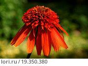 Купить «Flower of the orange coneflower», фото № 19350380, снято 9 июля 2020 г. (c) easy Fotostock / Фотобанк Лори