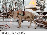 Купить «Рождественский олень в деревне Санта Клауса, Финляндия», фото № 19405360, снято 15 декабря 2015 г. (c) Руслан Кудрин / Фотобанк Лори