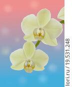 Две белые орхидеи на нежном фоне. Стоковое фото, фотограф Нефедьев Леонид / Фотобанк Лори
