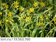 Купить «Цветущий гусиный лук жёлтый, или гагея жёлтая (Gagea lutea (L.) Ker-Gawl.)», фото № 19563760, снято 11 апреля 2015 г. (c) Ирина Борсученко / Фотобанк Лори
