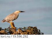 Купить «Striated Heron», фото № 19596292, снято 21 марта 2011 г. (c) easy Fotostock / Фотобанк Лори