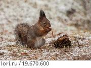 Купить «Рыжая белка ест орех», фото № 19670600, снято 30 декабря 2015 г. (c) Литвяк Игорь / Фотобанк Лори