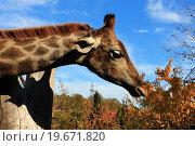 Осенний поцелуй. Стоковое фото, фотограф Коновалова Марина / Фотобанк Лори