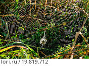 shining spider web with wasp spider. Стоковое фото, фотограф Zoonar/Alfred Hofer / easy Fotostock / Фотобанк Лори