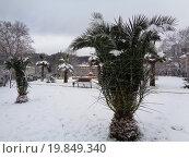 Купить «Пальмы под снегом, городской парк Сочи», фото № 19849340, снято 3 января 2016 г. (c) DiS / Фотобанк Лори