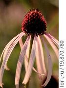Купить «Narrow-leaf Coneflower - Echinacea angustifolia», фото № 19870780, снято 9 июля 2020 г. (c) easy Fotostock / Фотобанк Лори