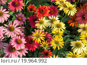 Купить «Caneflower - Echinacea», фото № 19964992, снято 17 октября 2018 г. (c) easy Fotostock / Фотобанк Лори