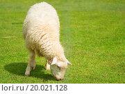 Купить «Sheep», фото № 20021128, снято 19 февраля 2019 г. (c) easy Fotostock / Фотобанк Лори