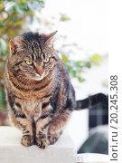 Купить «portrait of a beautiful striped cat outdoor», фото № 20245308, снято 21 апреля 2011 г. (c) easy Fotostock / Фотобанк Лори
