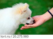 Купить «feed the dog», фото № 20275980, снято 25 июня 2011 г. (c) easy Fotostock / Фотобанк Лори