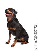 Rottweiler in front of a white background. Стоковое фото, фотограф eriklam / easy Fotostock / Фотобанк Лори